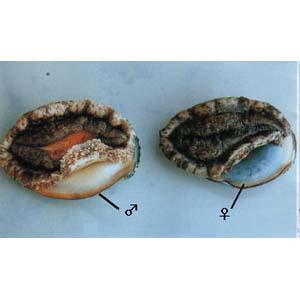 abalone02