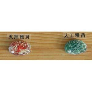 abalone07