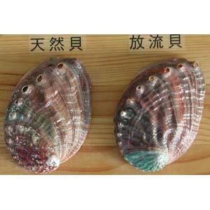 abalone11