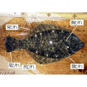 dissect-flatfish01