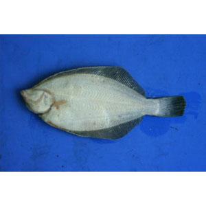 dissect-flatfish02