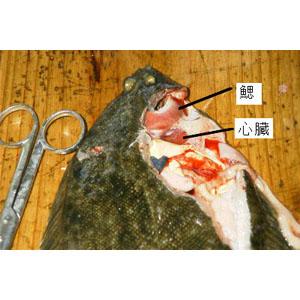 dissect-flatfish04