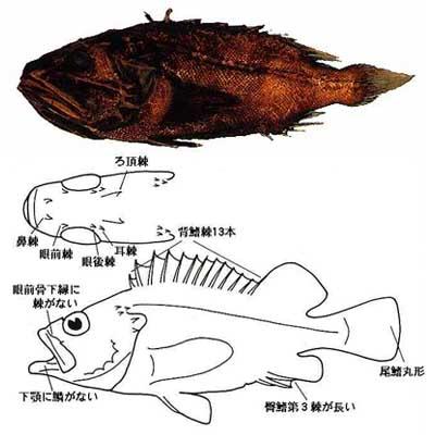 kurokasago