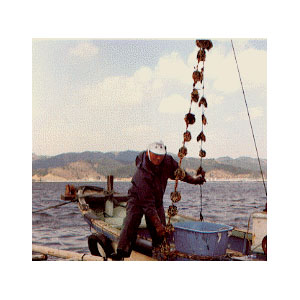 scallop-farming02