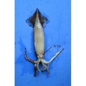 squid03