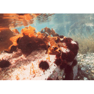 urchin-harvest04