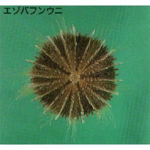 urchin03