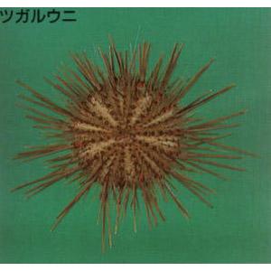 urchin05