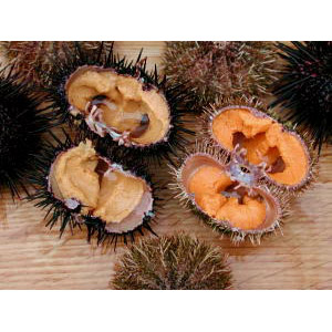 urchin06